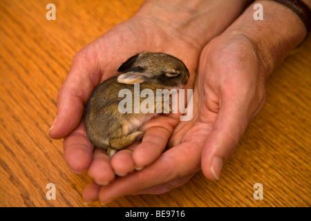 Giovani selvatici coniglio silvilago, 5 giorni, essendo tenuto in mani alla riabilitazione silvilago facility, Flagstaff, Foto Stock