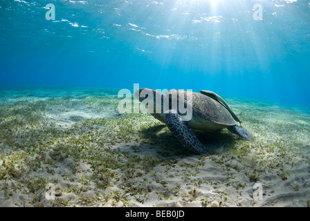 Tartaruga Verde avanzamento sul mare erba in baia poco profonda. Chelonia Mydas Foto Stock