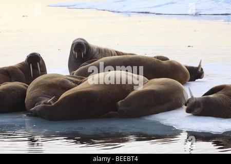 Tricheco in appoggio sulla banchisa nell'Oceano Artico nord delle Svalbard Foto Stock