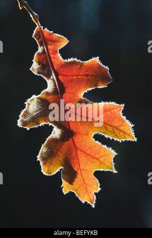 Nero orientale quercia (Quercus velutina), bordati di foglia in frost, Lillington, North Carolina, STATI UNITI D'AMERICA Foto Stock