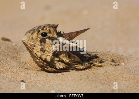 Texas cornuto Lizard (Phrynosoma cornutum), Adulto nasconde nella sabbia, Rio Grande Valley, Texas, Stati Uniti Foto Stock