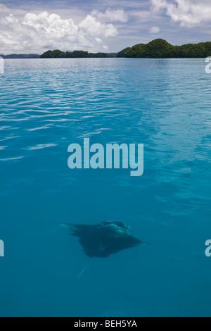 Manta scivola in acque poco profonde, Manta birostris, Micronesia, Palau Foto Stock