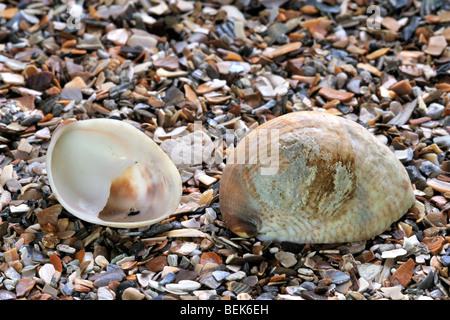 American slipper limpet (Crepidula fornicata) sulla spiaggia, Belgio