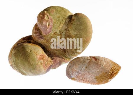 American pantofola patelle (Crepidula fornicata), in Normandia, Francia