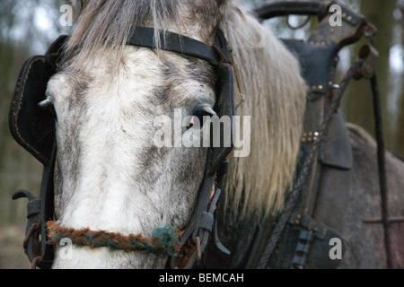 Chiusura del progetto di cavallo (Equus caballus) con cavo, Belgio Foto Stock