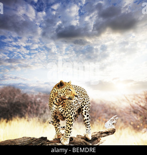leopardo Foto Stock
