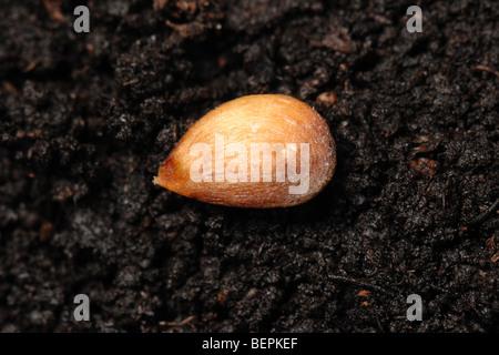 Scoperta di semi di Apple su una superficie di terreno Foto Stock