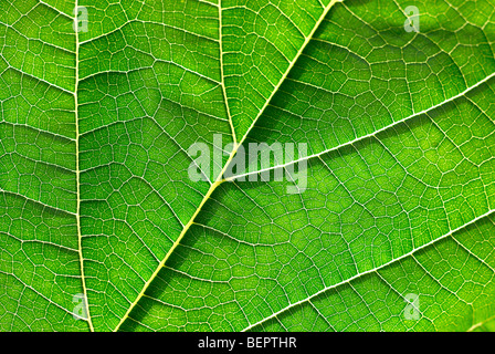 Foglie di gelso, foglia verde, verde foglia, vene, macro close-up ravvicinato, messa a terra Foto Stock