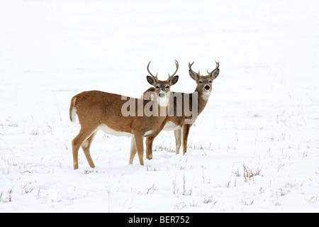 Due buck White-tailed deer in piedi insieme in una coperta di neve campo. Foto Stock