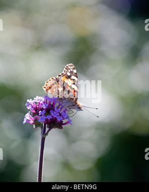 Dipinto di lady farfalla sulla Verbena bonariensis Foto Stock