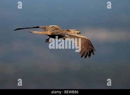 Nibbio bruno (Milvus migrans) in volo planato, con spazio di copia