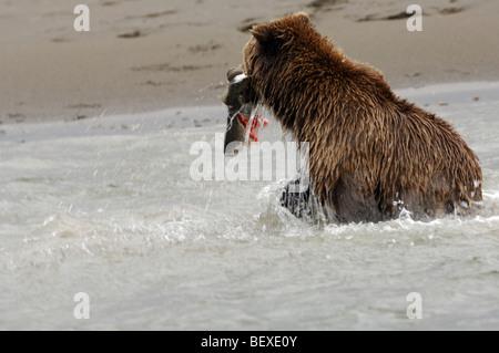 Foto di stock di un Alaskan orso bruno per la pesca del salmone con un freschissimo pescato nella sua bocca, il Foto Stock
