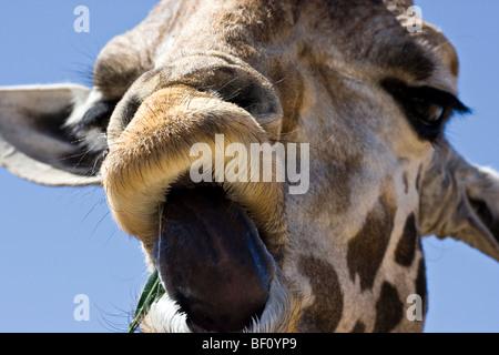 """Un primo piano di una giraffa """"' bloccato la sua lingua. Foto Stock"""