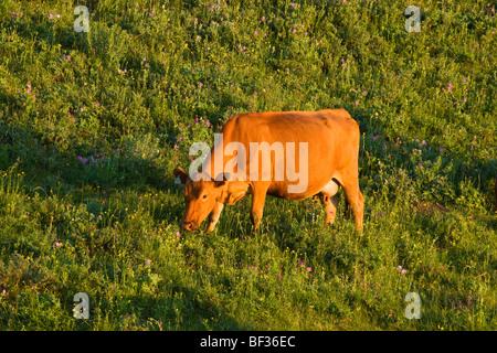 Bestiame - Red Angus mucca al pascolo sulle pendici di un pascolo verde a sunrise / Alberta, Canada. Foto Stock