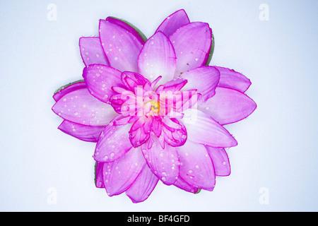 Fiore di loto in fibra sintetica visto da sopra Foto Stock