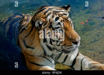 Tigre di Amur (panthera tigris altaica) in piscina Foto Stock