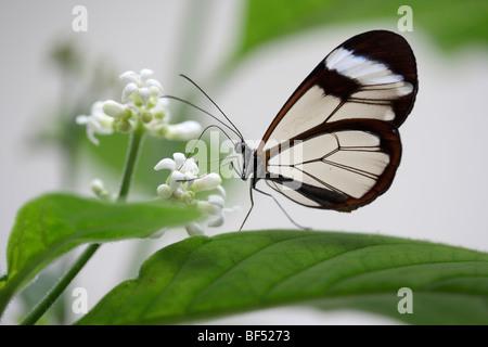 Glasswing butterfly (greta oto), specie di farfalle dall America Centrale e America del Sud Foto Stock