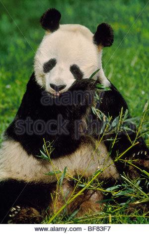 Panda gigante di mangiare il bambù, Ailuropoda melanoleuca, nativo di Cina Foto Stock