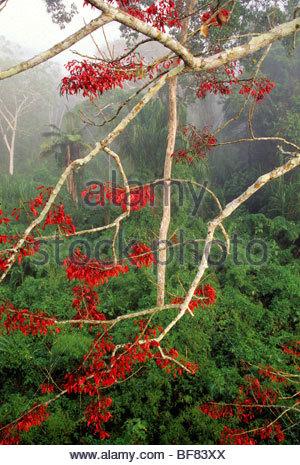 Fioritura erythrina tree, Parco Nazionale del Manu, Perù Foto Stock