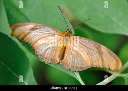 Julia Butterfly (Dryas iulia), Aka Julia Heliconian Foto Stock