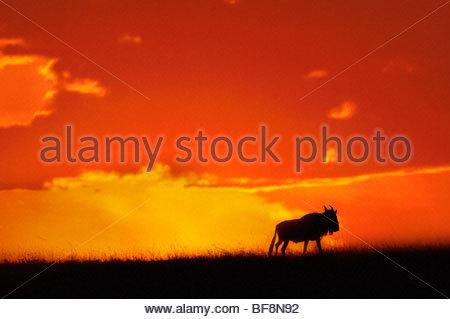 Gnu profilarsi all'alba, Connochaetes taurinus, riserva Masai Mara, Kenya Foto Stock