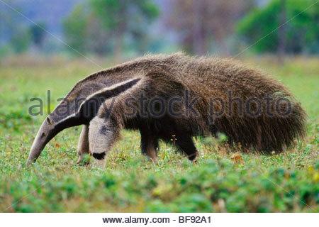 Giant anteater ricerca di termiti, Myrmecophaga tridactyla, Pantanal, Brasile Foto Stock