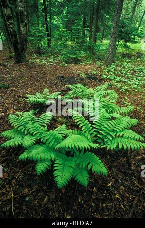 Felci nei boschi a molla, Kingston, New Brunswick, Canada Foto Stock