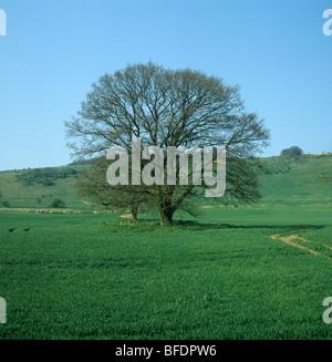 Unico albero di quercia (Quercus robur) con sfumatura verde delle foglie di germogli in primavera in una giovane del raccolto di cereali Foto Stock