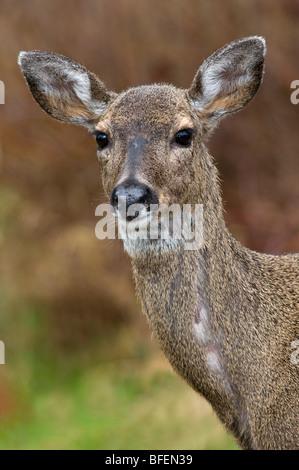 Femmina di cervo mulo o nero-tailed deer (Odocoileus hemionus), Victoria, Isola di Vancouver, British Columbia, Foto Stock