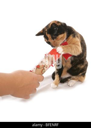 Natale Moggy Cat Unica femmina adulta tirando un cracker con Studio di proprietario Foto Stock