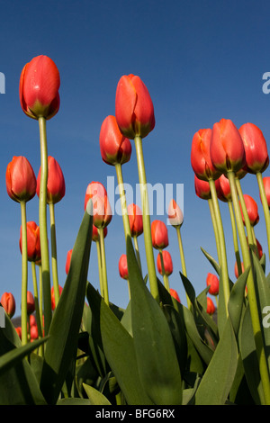 I tulipani (Tulipa gesneriana), vicino Agassiz, British Columbia. Foto Stock