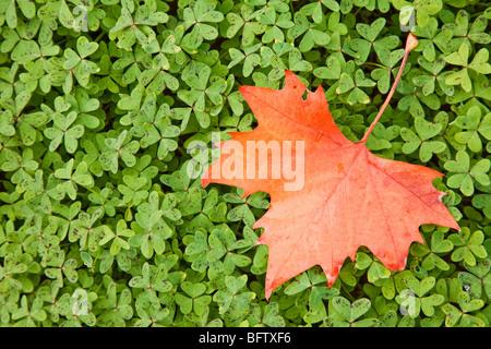 Red maple leaf su foglie verdi