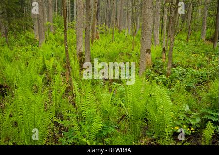 Bosco umido con marsh Le calendule e felci, Killarney, Ontario, Canada Foto Stock