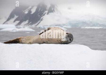 Leopard tenuta su ghiaccio, vicino Isola Yalour, Penisola Antartica, Antartide, regioni polari Foto Stock