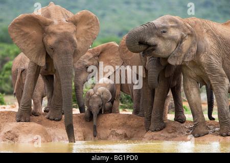 Elephant alla mandria (Loxodonta africana), Addo Elephant National Park, Capo orientale, Sud Africa e Africa Foto Stock