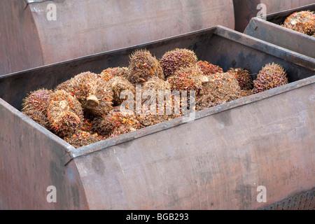 Enormi contenitori di metallo pieno di palme da olio di frutta fresca a grappoli (FFBs) sono rivestite fino a immettere Foto Stock
