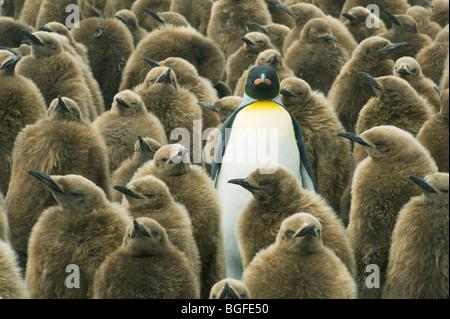 Adulto pinguino reale (Aptenodytes patagonicus) con pulcini o 'Oakum Boys' Gold Harbour, Georgia del Sud Foto Stock