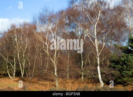 Argento di betulle in inverno sulla brughiera Suffolk, Inghilterra Foto Stock