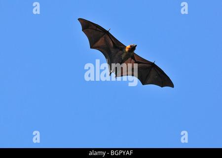 Madagascar frutto Bat o Flying Fox (Pteropus rufus), adulto in volo, Berenty Riserva Privata, Madagascar Foto Stock