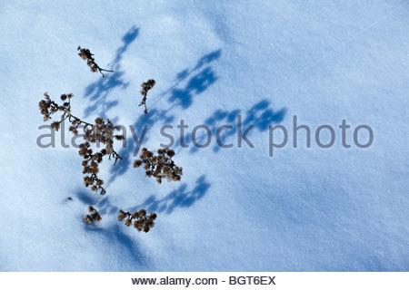 La scorsa estate i fiori di ombre di colata sulla neve in Rouge Park un deserto urbano in Toronto Ontario Canada Foto Stock