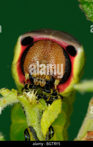 Pus Tarma (Cerura vinula) close-up di caterpillar alimentando il salicone, Oxfordshire, Regno Unito. Foto Stock