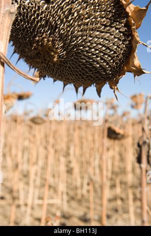 Primo piano della grande girasole essiccato in un campo, inverno Foto Stock