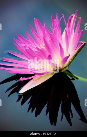 Viola tropical giglio di acqua e di riflessione. Hughes giardini d'acqua, Oregon Foto Stock