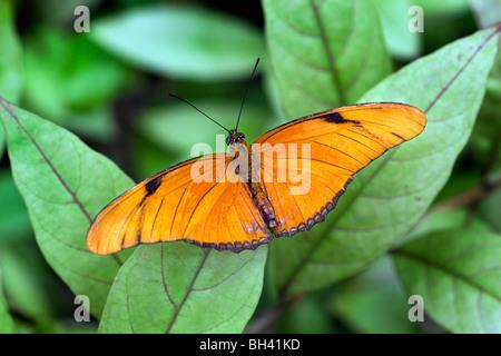 Julia butterfly, Dryas iulia Foto Stock