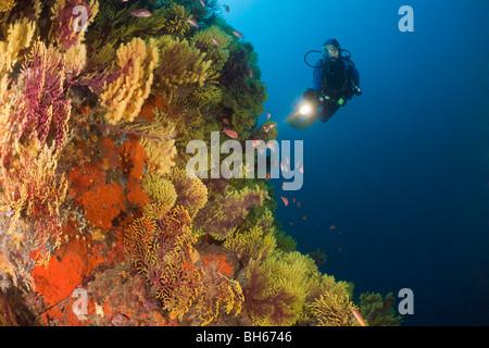 Scuba Diver e variabile gorgonie Paramuricea clavata, Tamariu, Costa Brava, Mare mediterraneo, Spagna Foto Stock