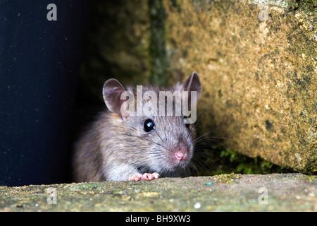 Marrone; Ratto Rattus norvegicus; in giardino Foto Stock