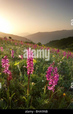 Fiori Selvatici sulla forca Canapine all'alba nel Parco Nazionale dei Monti Sibillini, Umbria, Italia Foto Stock