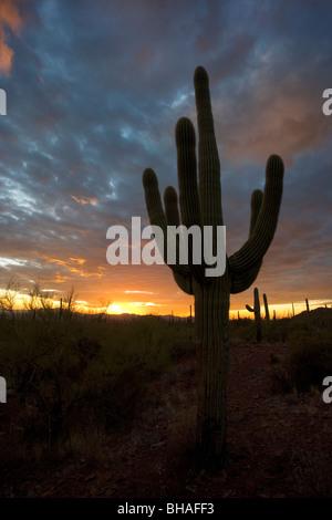 Tramonto nel deserto con un cactus Saguaro stagliano contro il cielo. Questo è in Arizona, appena ad ovest di Tucson. Foto Stock