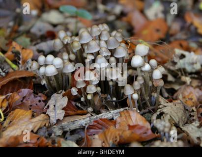 Angeli di cofani funghi Mycena arcangeliana, Mycenaceae. Un gruppo Tufted in faggio figliata di foglia. Foto Stock