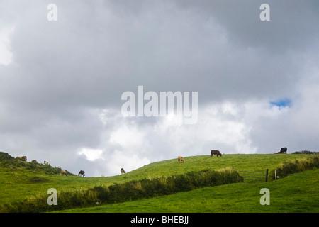 Vacche stagliano sulla cima di una collina nella contea di Clare, Irlanda. Foto Stock